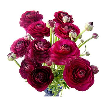 pink purple ranunculus 50 stems=$130