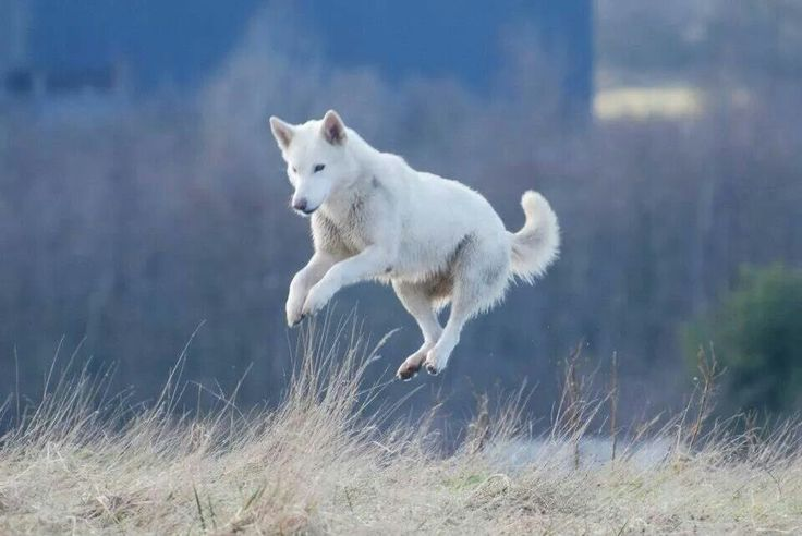 Northern inuit dog playing.