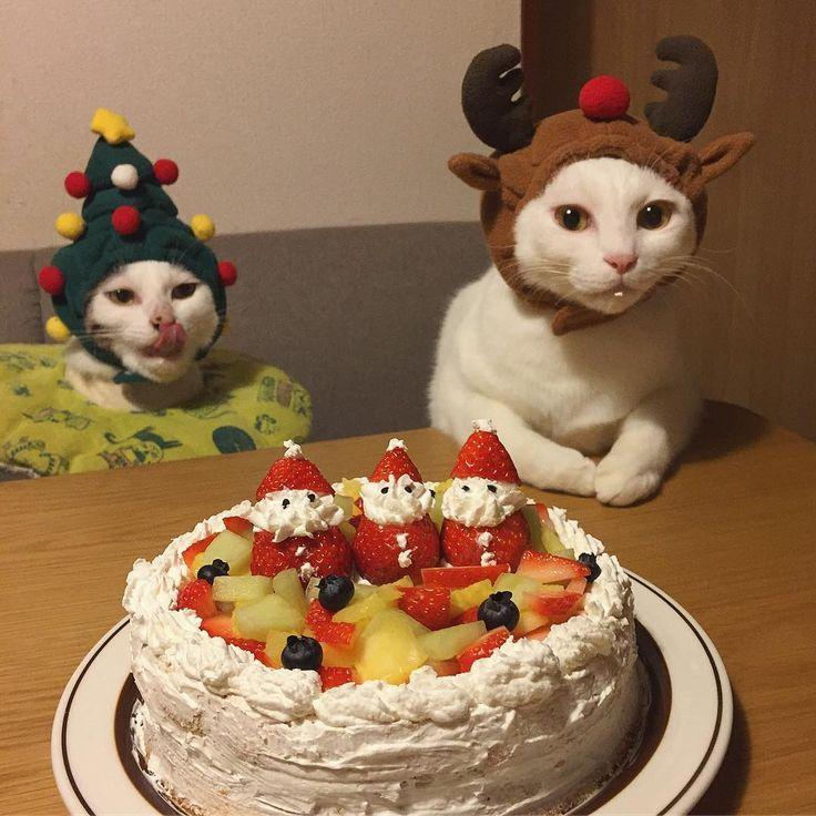 Merry Christmas✨✨④ 撮るよ〜!ってオイッ! おこちゃん澄ましとるけど生クリーム付いとるしw ハッチャンなんて堂々とペロンしとるしw クリームペロリしたの、バレバレやん! 生クリームは美味しかったかい?ズラもかぶってくれたしクリスマスやし、ちゅ〜るあげるね❤︎❤︎ 連投失礼しました〜皆さま、よいクリスマスを〜✨ #クリスマス #クリスマスケーキ #八おこめズラ #八おこめ #ねこ部 #cat #ねこ #八おこめ食べ物