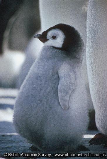 cute fat penguin