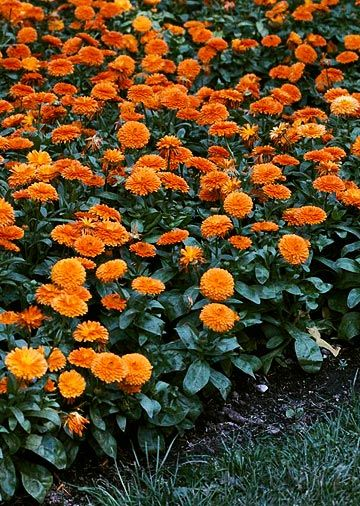 Pot marigold      Calendula officinalis), snapdragon (Antirrhinum hybrid)        Enjoy the flower power as these annuals keep up their show throughout summer and fall.        Orange in the Garden
