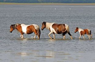 Chincoteague Pony: Chincoteagu Islands, Favorite Places, Assateagu Islands, Wild Ponies, Chincoteagu Ponies, Islands Ponies, Wildlife Refug, Wild Hors, Islands Hors