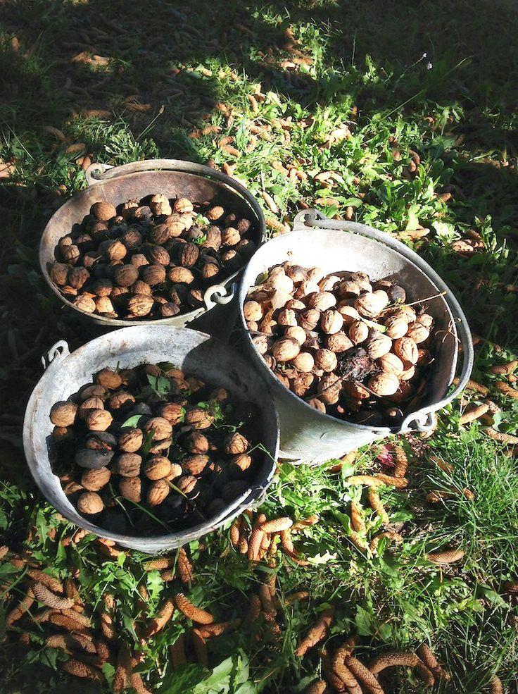 Le noci appena raccolte! #Natura #ConeglianoValdobbiadene #Veneto #colline