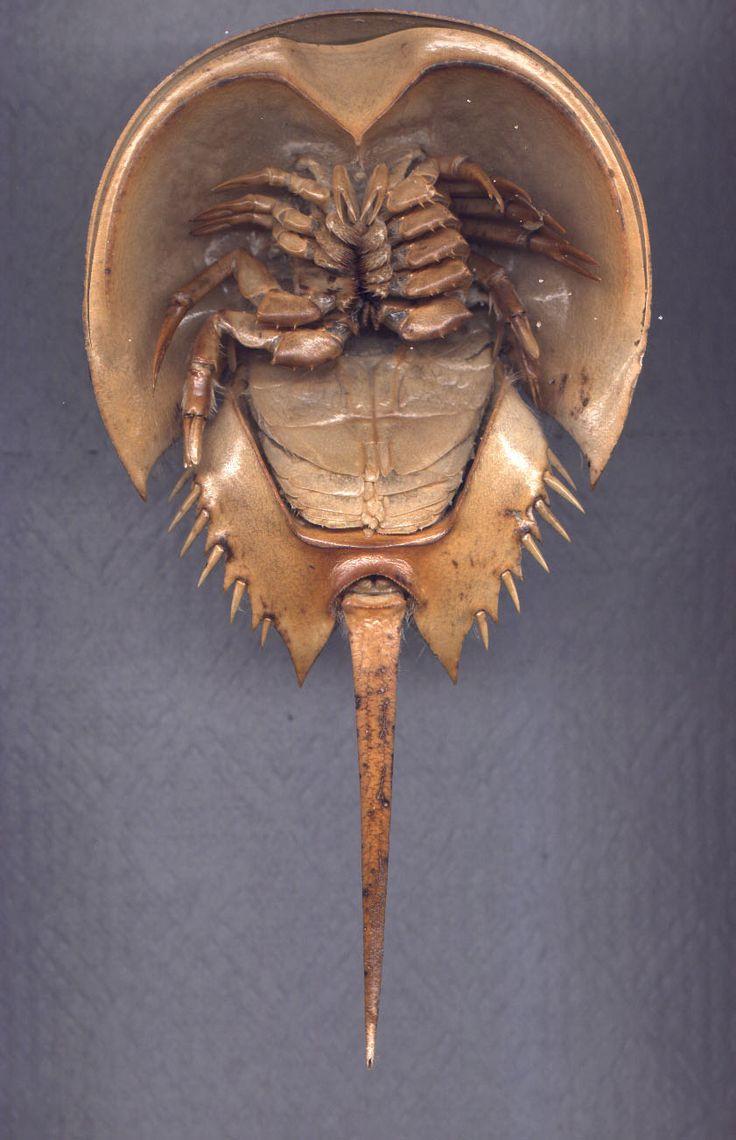 horseshoe crab?!