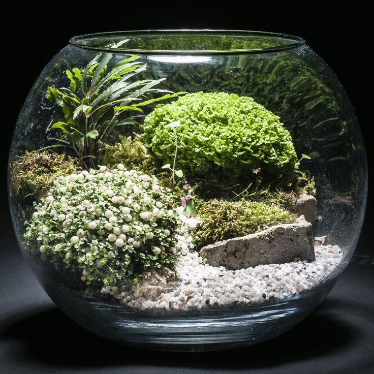 Selaginelle nertera chamaedorea et mousses terrariums for Mousse pour jardin japonais
