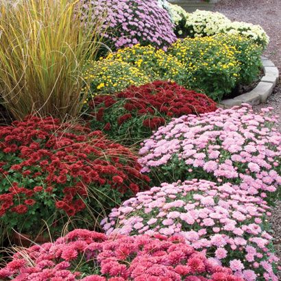 """Dividing mums and perennials: """"Perennials that MUST be divided before they put out much new spring growth: mums, fall asters, mallows, daylilies (Oct. is better for them), Shasta daises, coneflowers, Gloriosa daisies, St. Joseph's lilies (hardy amaryllis - may not bloom heavily first spring after move) and perennial salvias, especially Mexican bush sage, among other perennials. Old rule is that """"If it blooms in late summer or fall, you dig and divide it in late winter. If it blooms in…"""