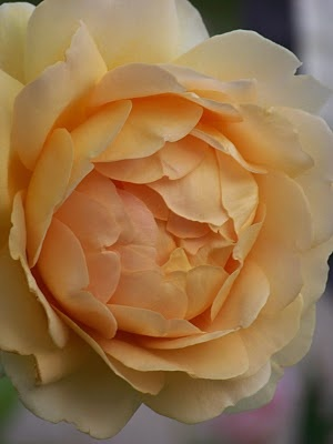 David Austin Rose - Golden Celebration