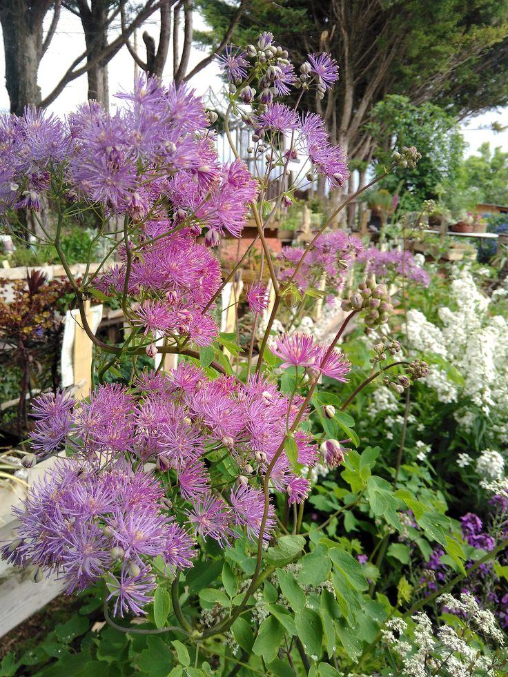 jardin botanique de plantes vivaces - http://www.plantes-vivaces-hurlevents.com/