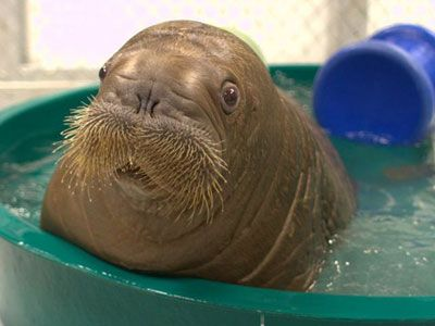 """OMG!!!! :D // Be My Pet: Mitik, The """"Fat, Mustachioed"""" Orphaned Baby Walrus - The Frisky"""