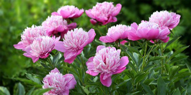 Die Pfingstrose ist schon lange als Heilpflanze bekannt. In der Volksmedizin werden ihre Blüten gegen Hämorrhoiden, Rheuma und Gicht eingesetzt.