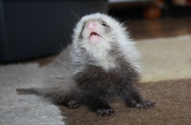 FYI, Baby Ferrets Are Really Cute - BuzzFeed Mobile