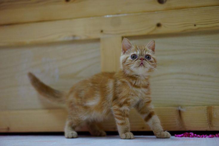 Nejoblíbenější plemena koček (V.): Exotická kočka