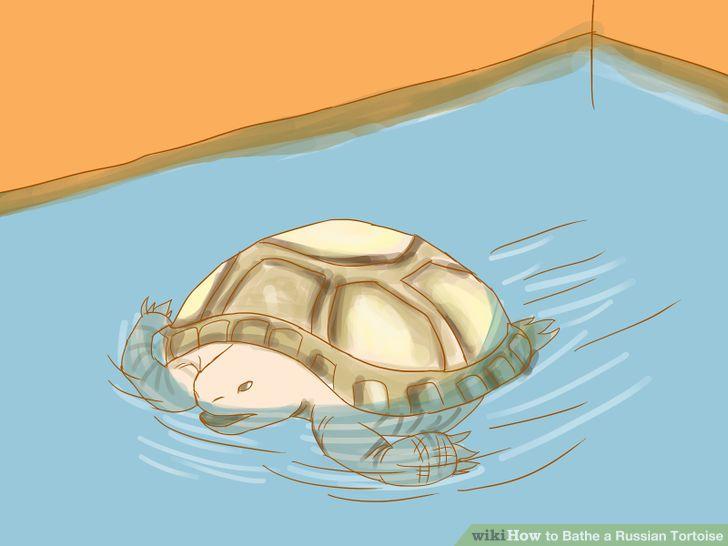 Bathe a Russian Tortoise