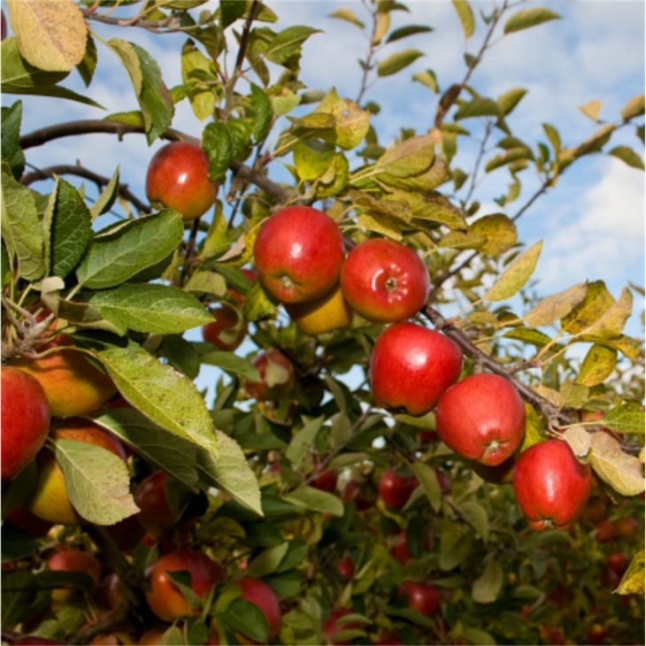 Pin By Rebecca Meah On Gardens Fruit Trees Uk Planting Fruit Trees Fruit Trees