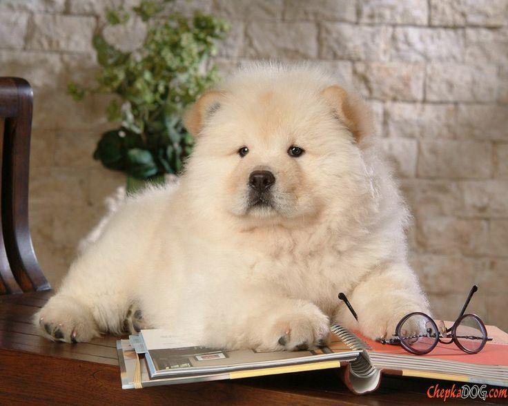 Wonderful Spherical Chubby Adorable Dog - 73cb495a9711b7ee6127ffb70255f2ef--cutest-dog-breeds-cutest-dogs  HD_921827  .jpg