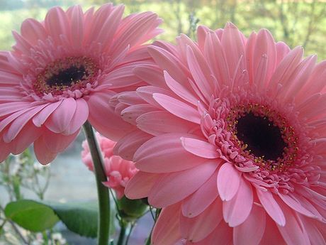 Gerbera Daisies, my favorite flowers! They just look so happy and colorful! :)