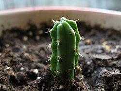 A newly planted Echinopsis pachanoi (San Pedro Cactus) cutting