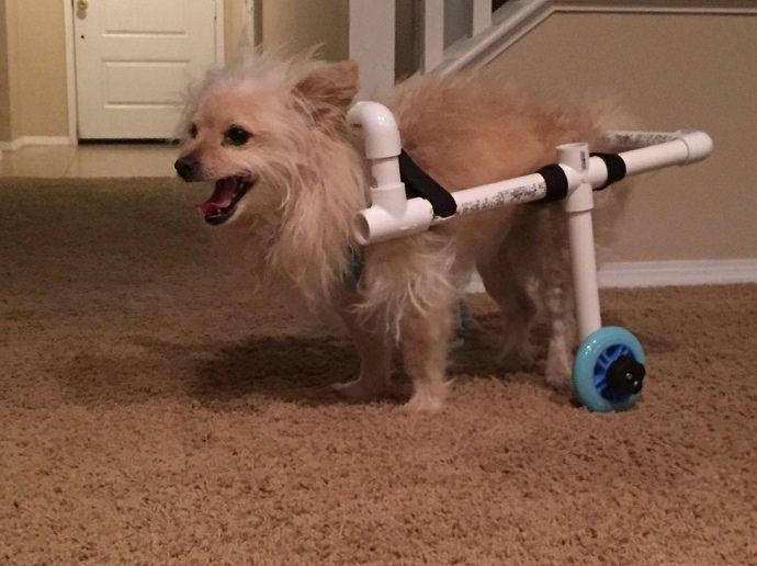 il a décidé de fabriquer son propre fauteuil roulant pour chiens handicapé. Il s'est rendu au magasin de bricolage le plus proche, a acheté, entre autres, quelques tuyaux en PVC, et il a construit un fauteuil roulant pour Benny. Tout ça pour la modique somme de 35€.