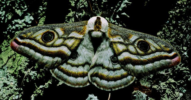 """¿Qué características tiene una polilla que la hacen polilla?. Las polillas o mariposas nocturnas y las mariposas pertenecen al orden científico de las Lepidoptera. De acuerdo con """"Butterflies and Moths"""" de David A. Carter, existen aproximadamente 170.000 especies de Lepidoptera. Las mariposas forman sólo una décima parte de la especie mientras que las polillas forman el resto. Existen ciertas cualidades o ..."""