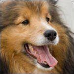 Shetland Sheepdog Rescue