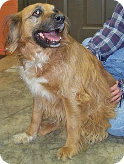 Rockaway, NJ - Golden Retriever/Setter (Unknown Type) Mix. Meet Riley Steele a Dog for Adoption.