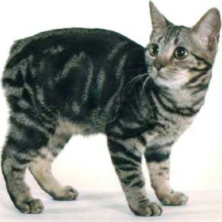 for the love of Manx Cats