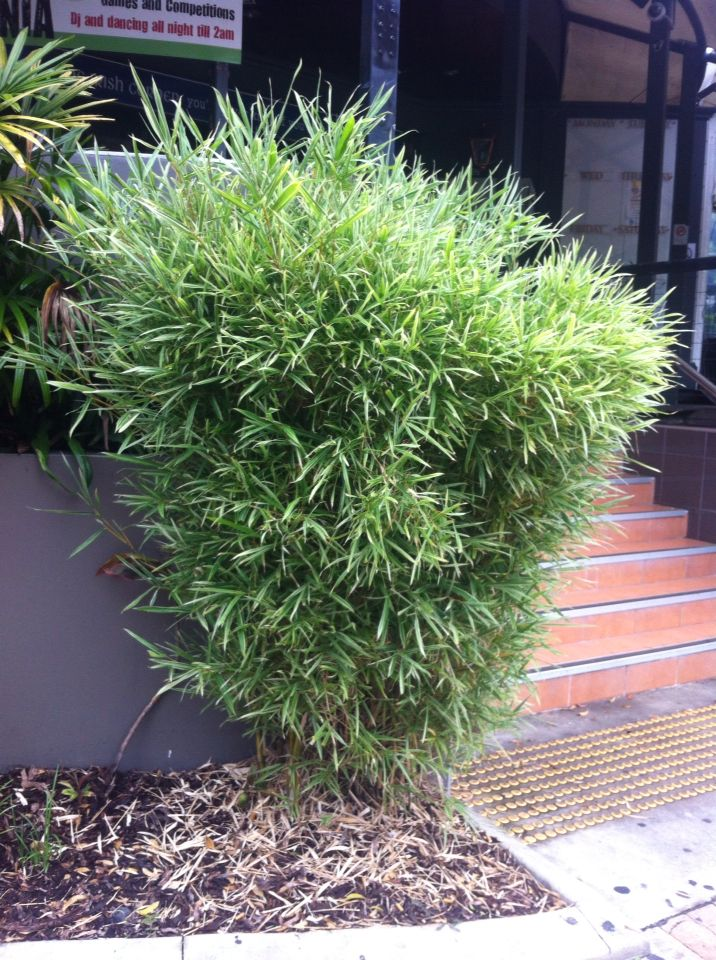 Landscaping With Dwarf Bamboo : Best images about p l a n t i g b r y on ferns plants and congo