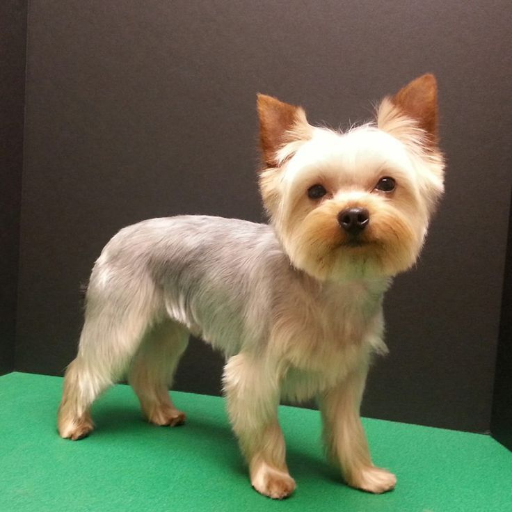 about Yorkshire Terrier Haircut on Pinterest   Yorkie haircuts, Yorkie ... #yorkshireterrier