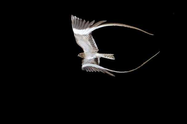 A male pennant-winged nightjar (Macrodipteryx vexillarius) in flight at night - easily the most challenging photograph I have ever taken. This image needed the help of 3 other people, and took many night soy trying. Through all the nights, I only managed one frame I was truly happy with, and this is it! It is a rare bird, and only has its famous pennants for a short time of the year during the breeding season. I was very lucky to find this individual, and even luckier to get the shot!
