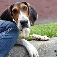 Pictures of Gilly a Treeing Walker Coonhound for adoption in Marlinton, WV who needs a loving home.