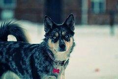 ausky     Australian cattle dog  +  Siberian Husky