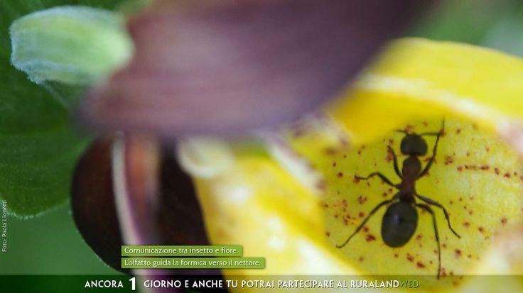 Comunicazione tra #insetto e #fiore. L'olfatto guida la #formica verso il nettare.   #Concorso Fotografico. #Immagini e realtà #rurale  #acqua #clima #energia #biodiversità #ecosostenibile #sprecozero #risorsenaturali #creatività #nutrireilpianeta #bellezza #energiaperlavita #paesaggio #natura #tradizione #agricoltura  Ancora 1 giorno e anche tu potrai partecipare al #concorsofotografico #ruralandWED.