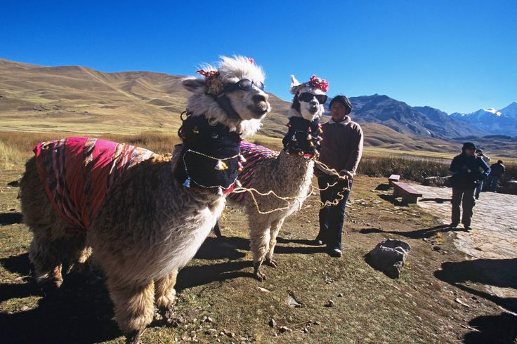 Alpakka i Peru