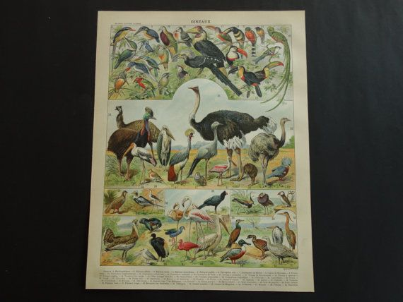 BIRDS old print 1902 original antique vintage by DecorativePrints