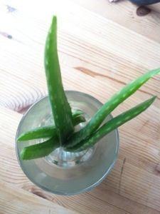Auf der Suche nach regionaleren Produkten liegt es nahe, selber Pflanzen zu ziehen und sie für alles Mögliche zu nutzen. So auch Aloe Vera: die schöne Pflanze ist nicht nur fotogen und pflegeleicht...