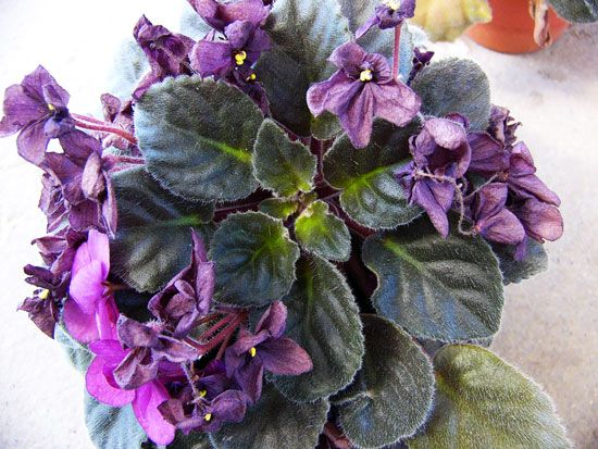How to cut back and repot African violets
