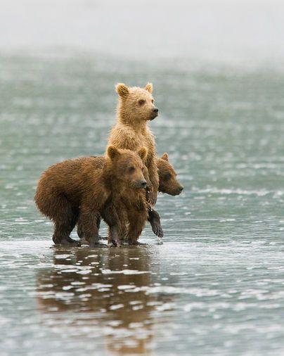 Bears: Brother Bears, Bears Cubs, Teddy Bears, Brown Bears, Baby Bears,  Ursus Arcto, Grizzly Bears, Animal,  Bruins