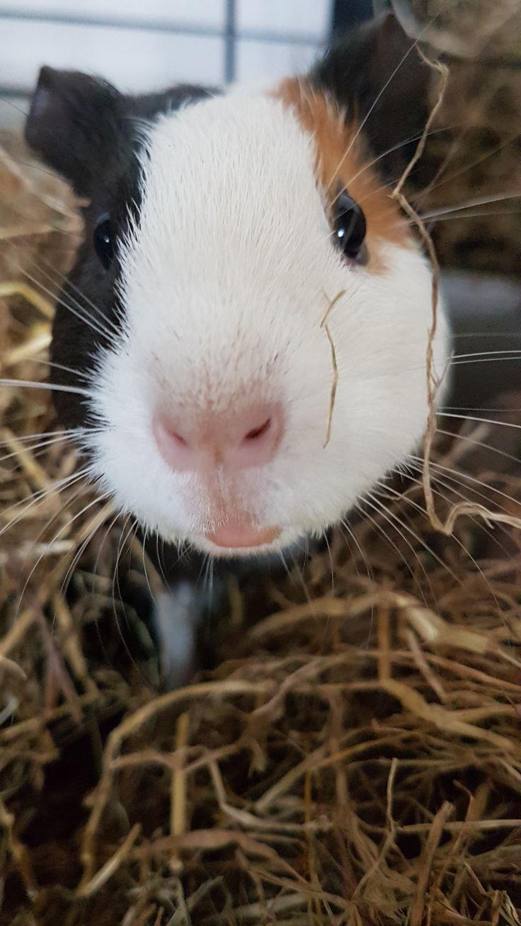 Cute little guinea pig http://ift.tt/2mpGMGO