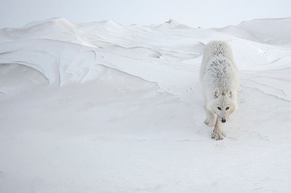 Photographie, Loup arctique, Canada © Vincent Munier