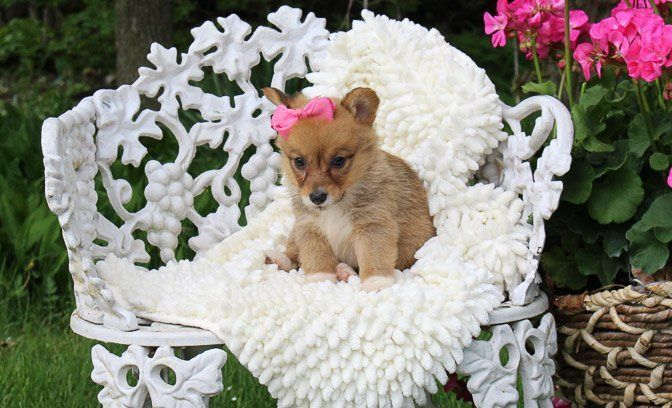 Marley Female Akc Welsh Corgi Puppy Indiana For Sale Welsh