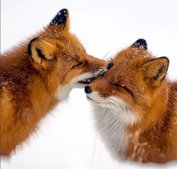 PLAYFUL RED FOXES