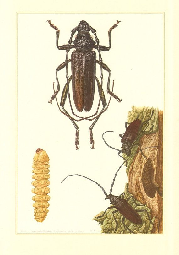 1956 Longhorn Beetles Cerambycidae Great by CabinetOfTreasures