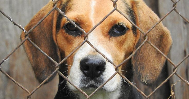 36 Beagles Could Die if Dow Pesticide Test Isn't Stopped