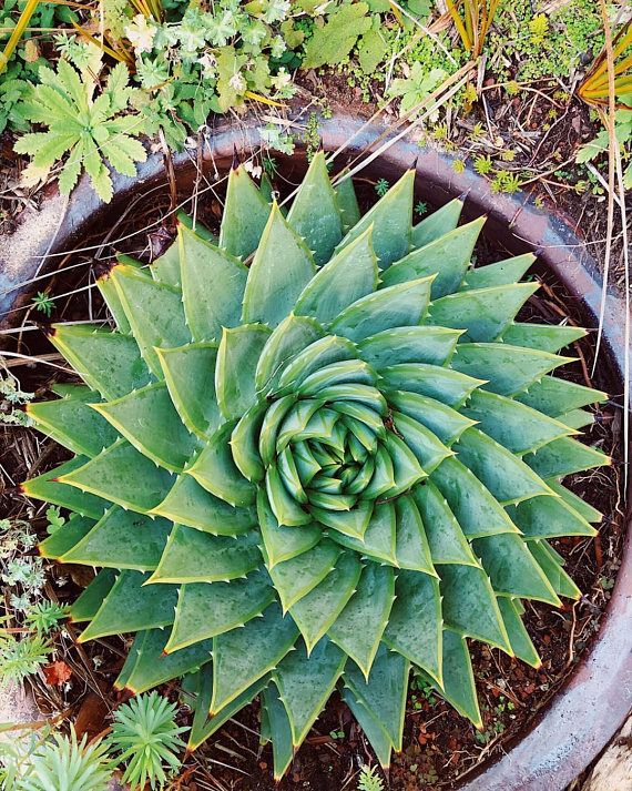 100Pcs Rare Aloe Polyphylla Seed Garden Succulents Home Horticulture Decoration