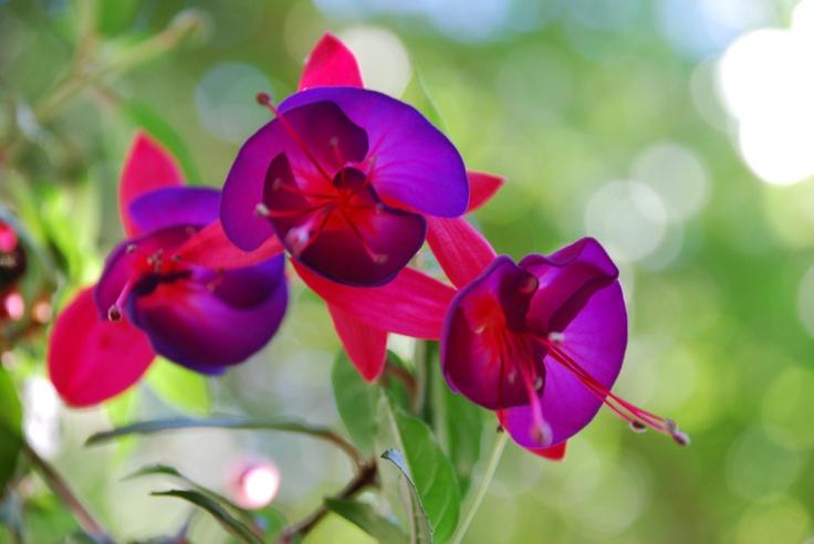 Fuchsia II By KC, 2011: Nature Flowers, Flowers Fuschias, Awesome Photos, 201 Nature, Beautiful Things
