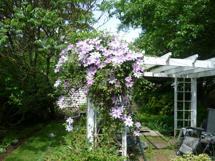 May 2016, Clematis 'Nellie Moser' in full bloom