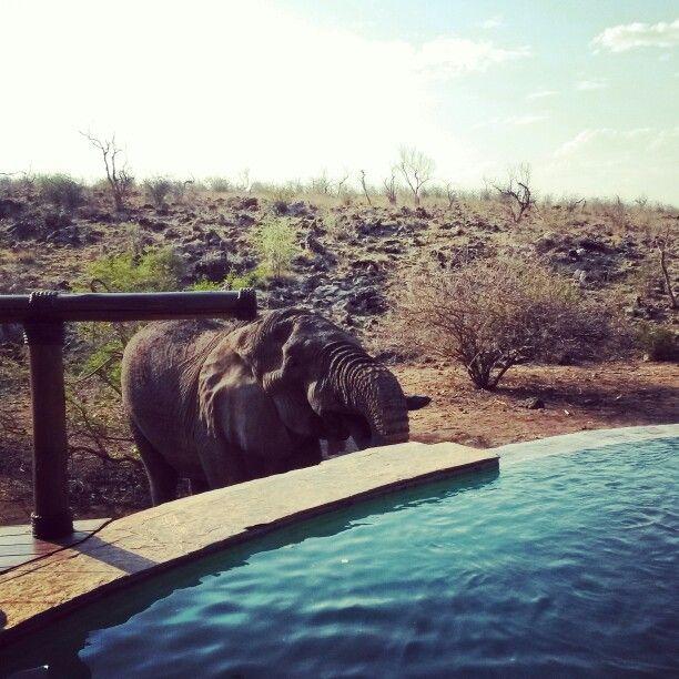 Elephant drinking water at the pool at Tuningi safari lodge