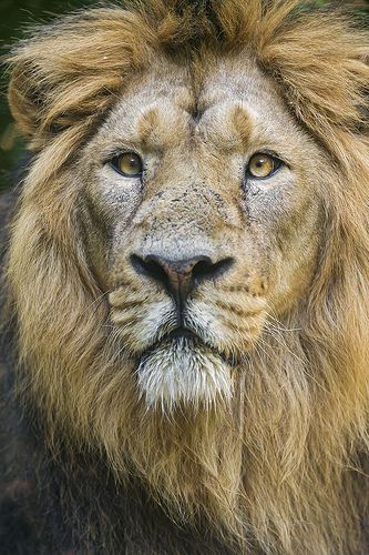 Beautiful and proud Asiatic lion