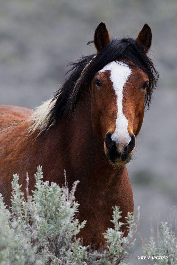 Wild Horse, Stallion -