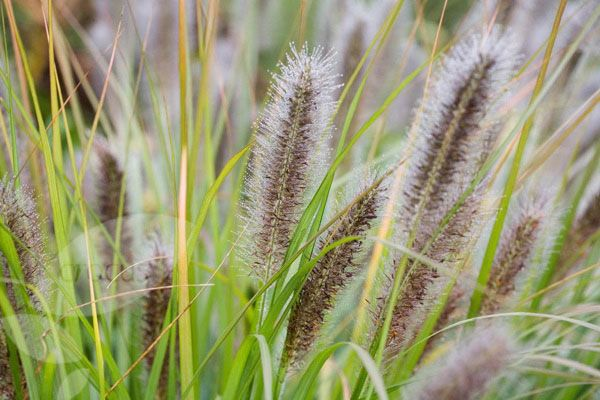 Buy fountain grass Pennisetum alopecuroides 'Hameln': Delivery by Crocus.co.uk